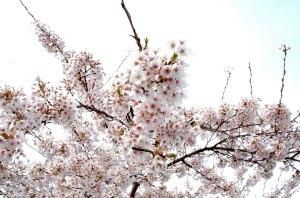 cherry-blossoms1.jpg