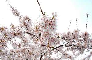 cherry-blossoms1.jpg